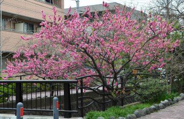 市制90周年に制定された「区の木」。中原区と桃の関係を知っていますか?