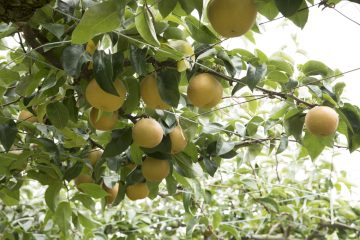 独自の試み「パンジーウォーク」や畑の収穫体験など、付加価値を高める農業スタイル【かしま園】